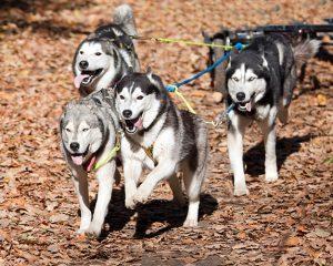 Adventure Dog Carting Summer Tours